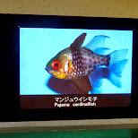 pajama cardinalfish in Shinagawa, Tokyo, Japan