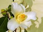 白色 一重 ラッパ咲き 筒しべ 中輪
