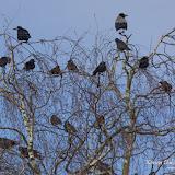 Врановые (Corvus)