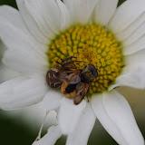 Thomisidae : Xysticus bifasciatus KOCH, 1837. Les Hautes-Lisières (Rouvres, 28), 15 juin 2012. Photo : J.-M. Gayman