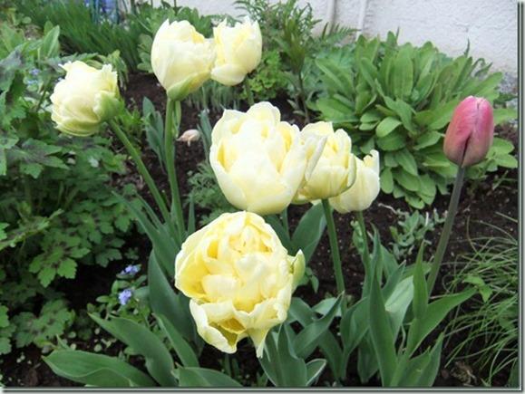 Tulipa%2520ukjent_._thumb