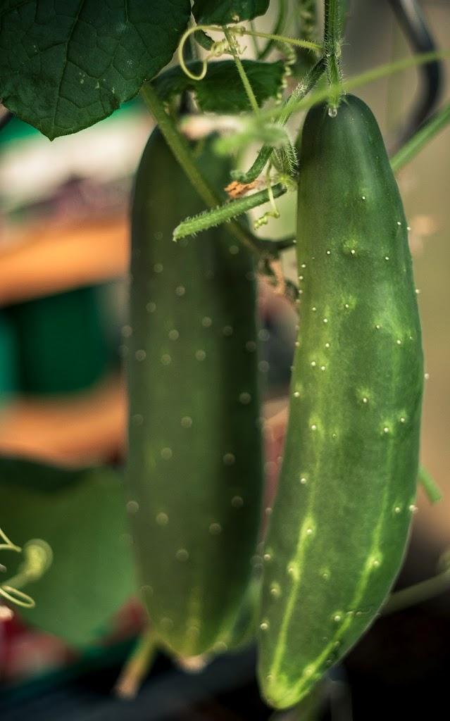 Cucumbers-03