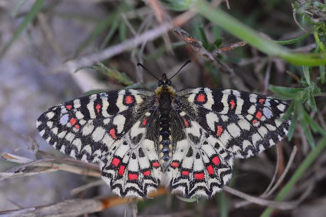 Zerynthia rumina (LINNAEUS, 1758), mâle. Le Vigier, commune de Lagorce (Ardèche), 19 avril 2014. Photo : L. Voisin