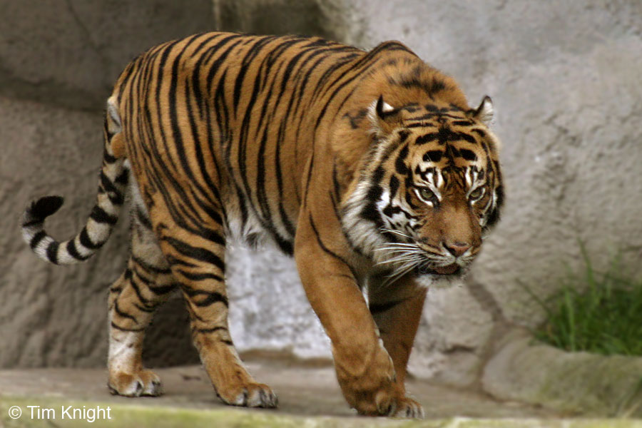 Image Result For Wild Sumatran Tigers Prey And Predators In The Jungle