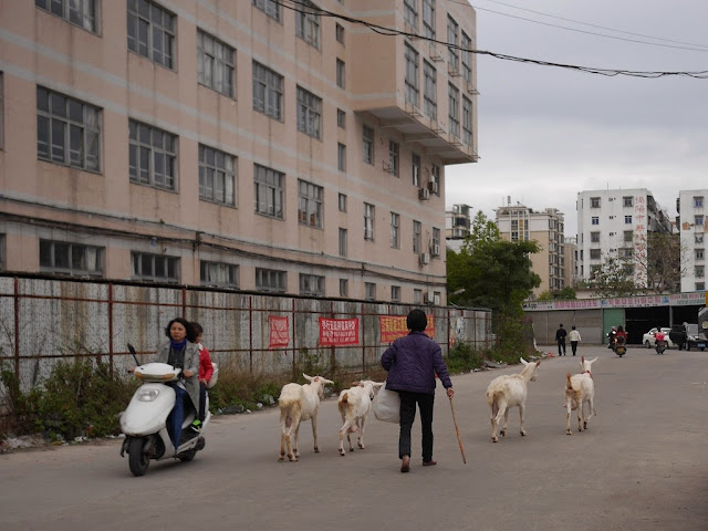 woman walking with four goats in Jieyang