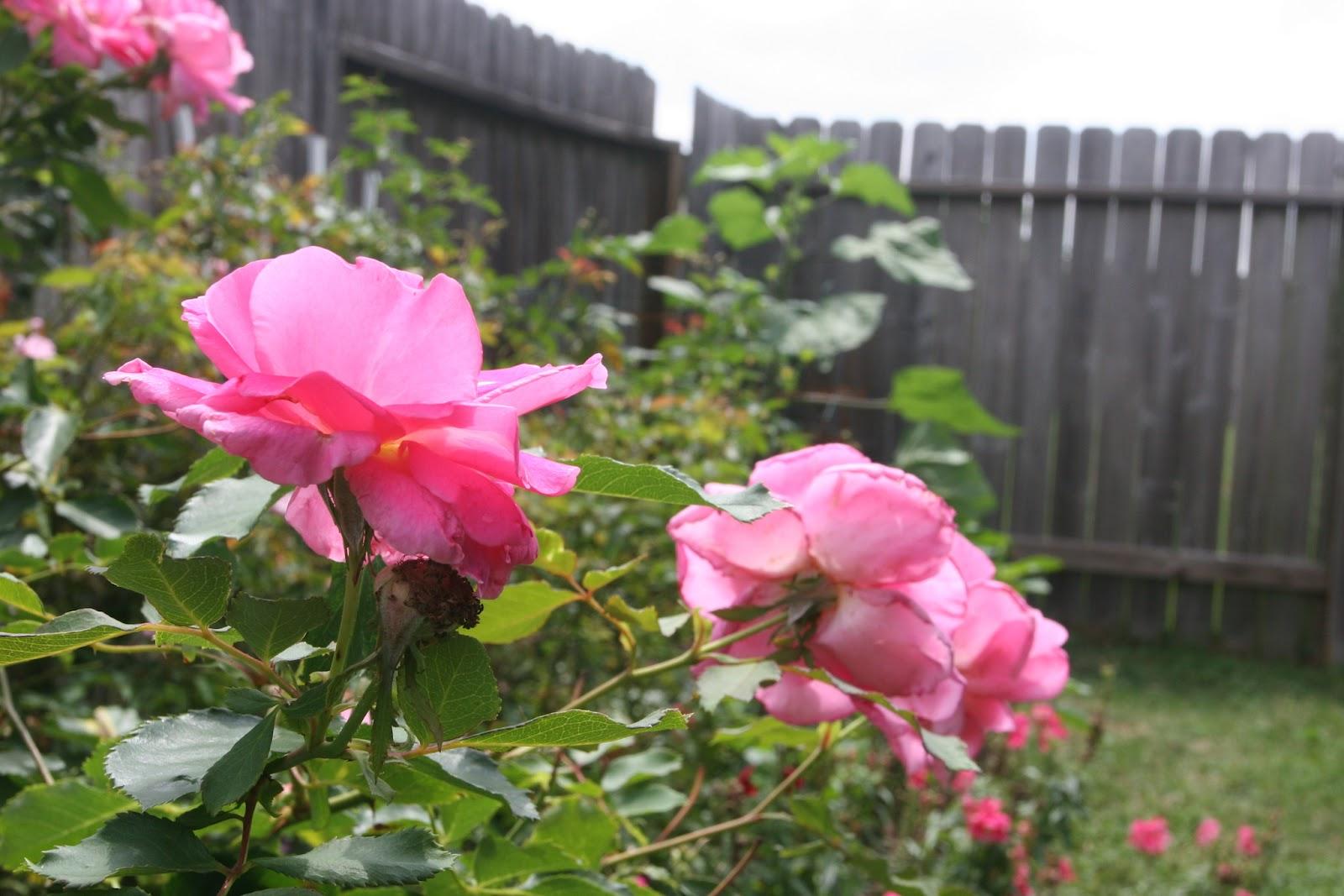 Gardening 2012 - IMG_3749.JPG