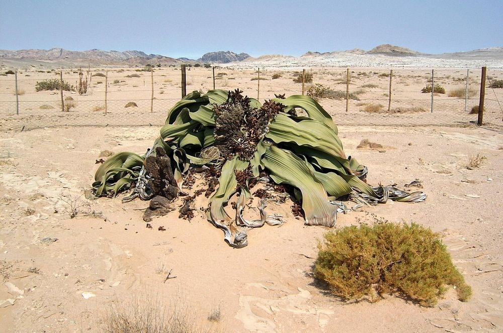 welwitschia-mirablilis-14