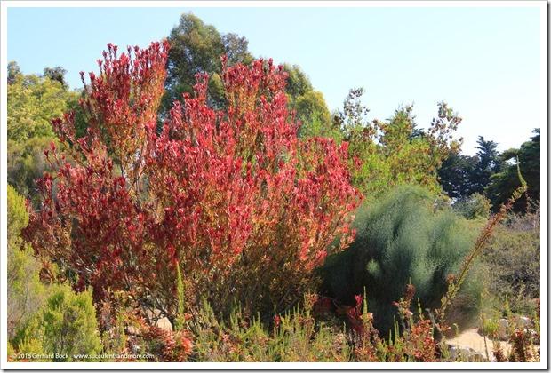160813_UCSC_Arboretum_Leucadendron-Safari-Sunshine_002