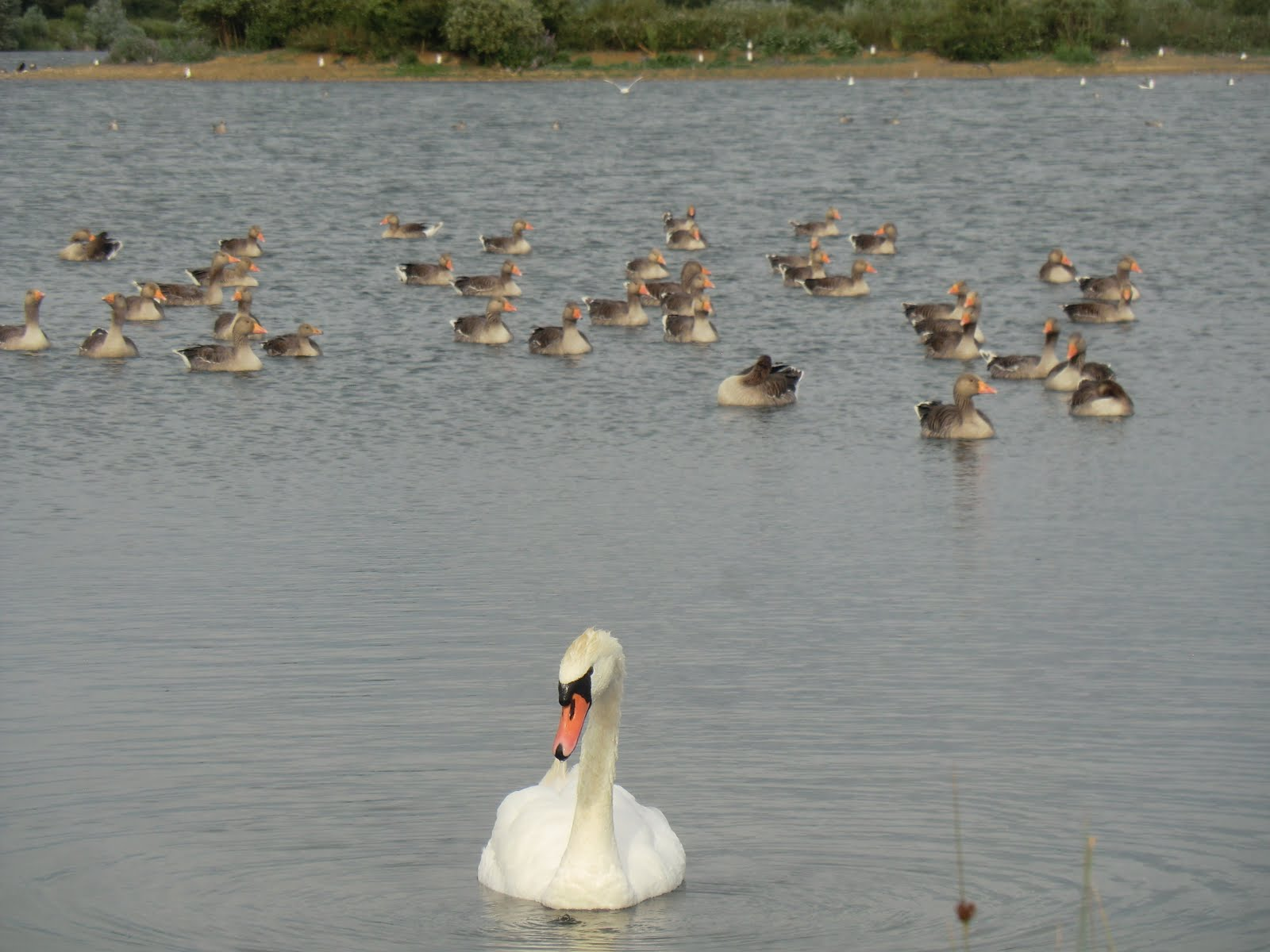CIMG8948 Swan and geese at Godmanchester Nature Reserve