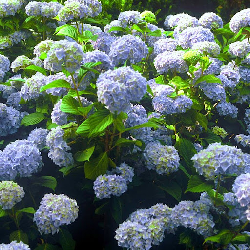 Blue Hydrangeas are a summer favorite by the sea.