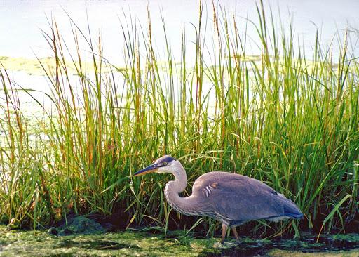 blue-heron-atlantic-canada2.jpg - A blue heron strides the wetlands in Atlantic Canada.