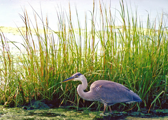 A blue heron strides the wetlands in Atlantic Canada.
