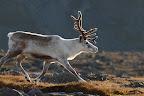 MAIS OU EST LE PERE NOEL ?   Renne blanc dans les conyrées lapones, dans le Parc National de Stora Sjofallet