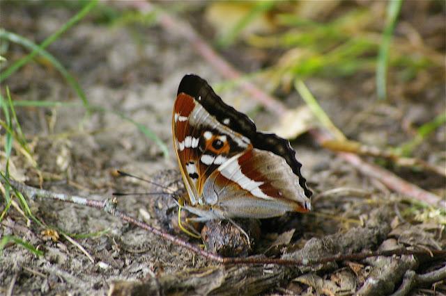 Apatura iris LINNAEUS, 1758, mâle. Les Hautes-Lisières, 1er juillet 2010. Photo : J.-M. Gayman