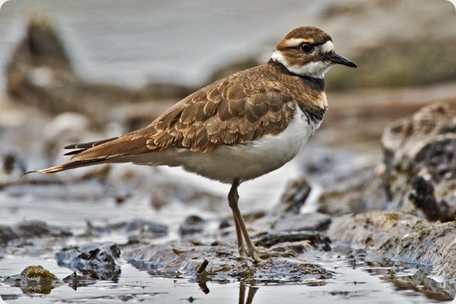 aves-Killdeer