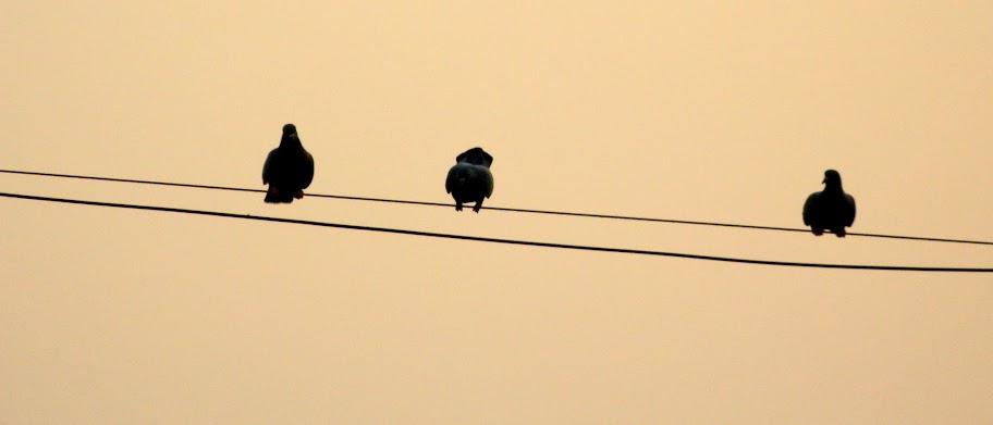 Rock Doves on a cables at sunset