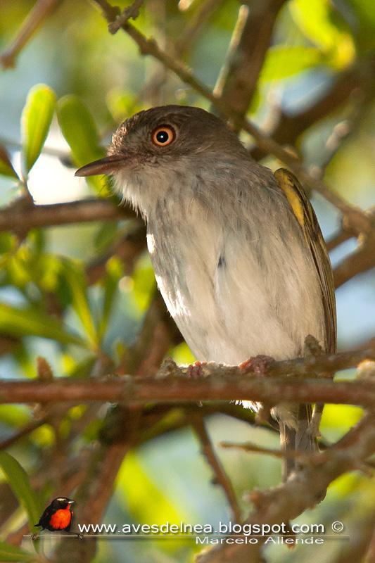 Mosqueta ojo dorado (Pearly-Vented Tody-Tyrant)