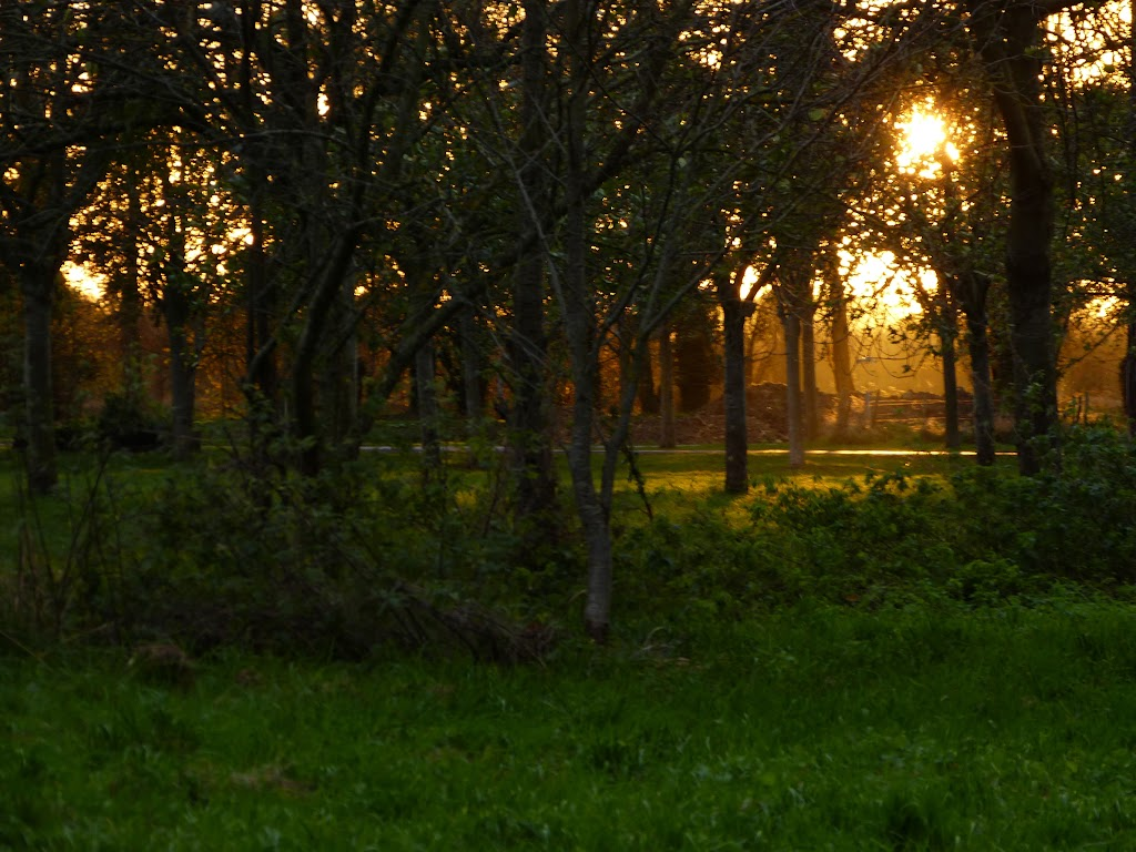 Coucher de soleil dans les pommiers P1310726