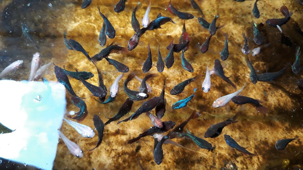 merawat ikan cupang agar tetap sehat