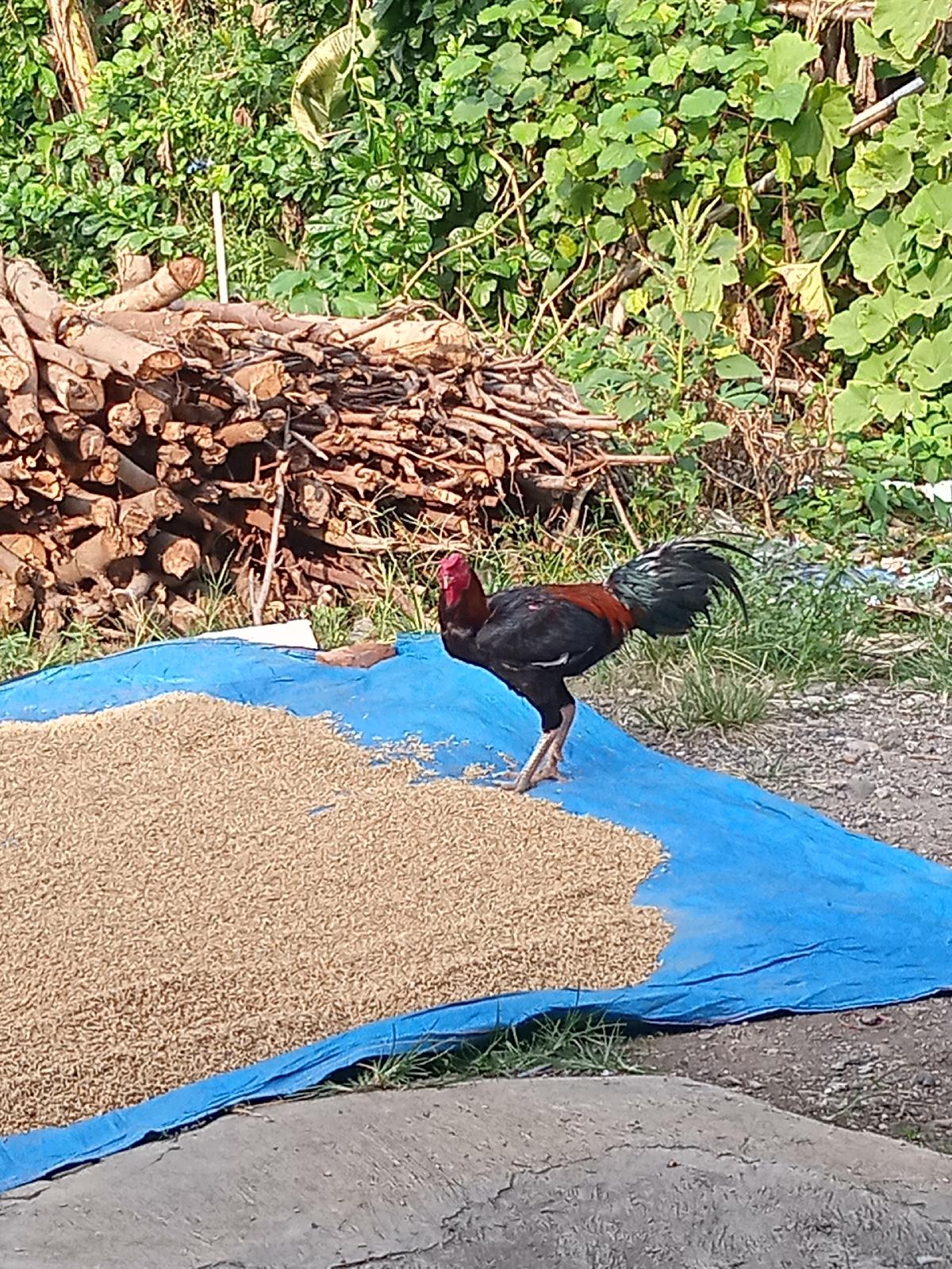 Ayam jago