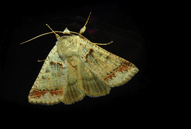 Geometridae : Oenochromiinae : Nearcha sp. (?). Umina Beach (NSW, Australie), 3 novembre 2011. Photo : Barbara Kedzierski