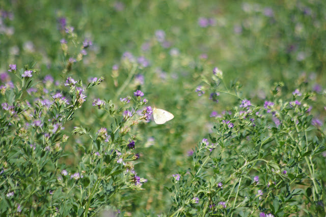 Colias alfacariensis (RIBBE, 1905), femelle. Bages (Pyr. orientales), 17 août 2013. Photo : J.-M. Gayman