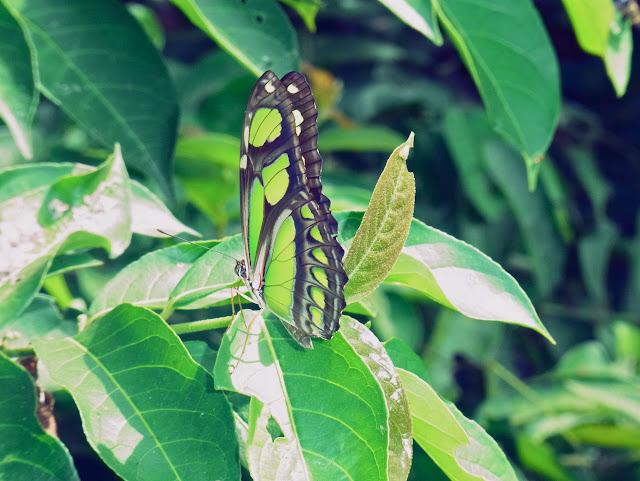 Philaethria pygmalion metaensis Constantino & Salazar, 2010. Finca La Graciela, 239 m (Tamarindo, Casanare, Colombie), 5 novembre 2015. Photo : C. Thoumyre