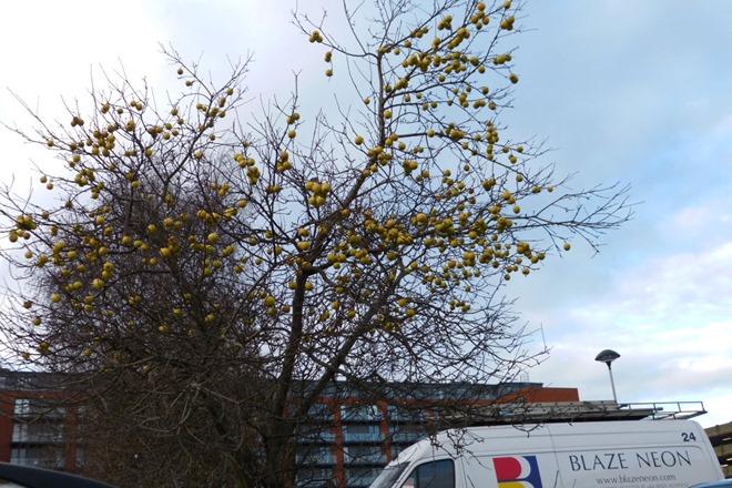 Яблоня нв парковке в центре Бирмингема. Февраль.