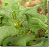 Tetragonia Spinach