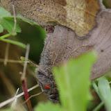 Accouplement de Maniola jurtina (mâle parasité par un acarien). Hautes-Lisières (Rouvres, 28), 8 juillet 2012. Photo : J.-M. Gayman