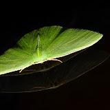 Geometridae : Geometrinae : Chloeres citrolimbaria GUÉNÉE, 1857. Umina Beach (NSW, Australie), 15 octobre 2011. Photo : Barbara Kedzierski