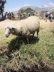 Sheep (Yungay, Peru)