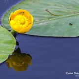 Кубышка жёлтая (Nuphar lutea)