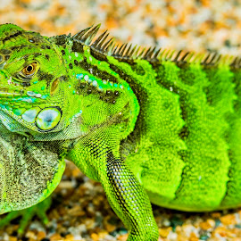 Im Green by Ken Nicol - Animals Reptiles (  )