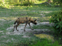 Wild dog - Linyanti Concession (Chobe Region)