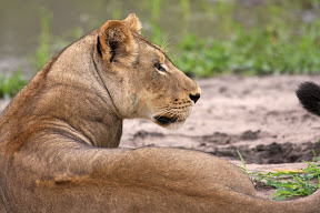 Lioness, Botswana