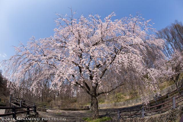 片倉つどいの森公園のしだれ桜