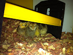 Chickies huddled under their new 20-watt brooder.