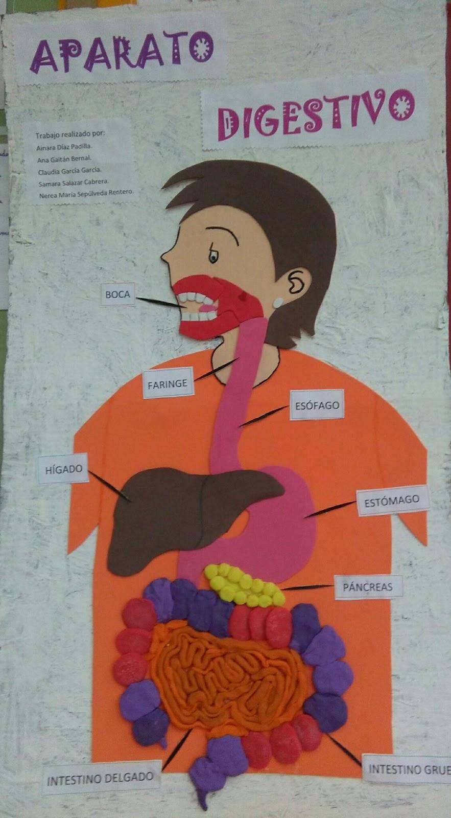 EL DIARIO DE LA CLASE: Aparato digestivo. Maqueta y preguntas