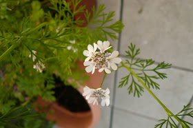 fleur de coriandre.JPG