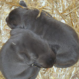 puppies at 12 days