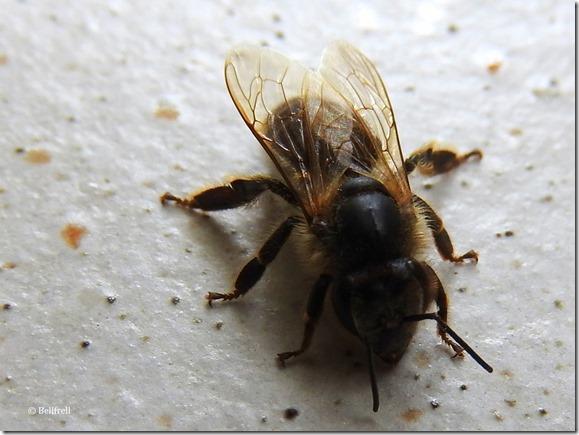 Schwarze Biene