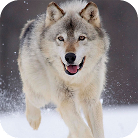 Волк Live Wallpaper