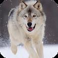 Wolf Live Wallpaper apk