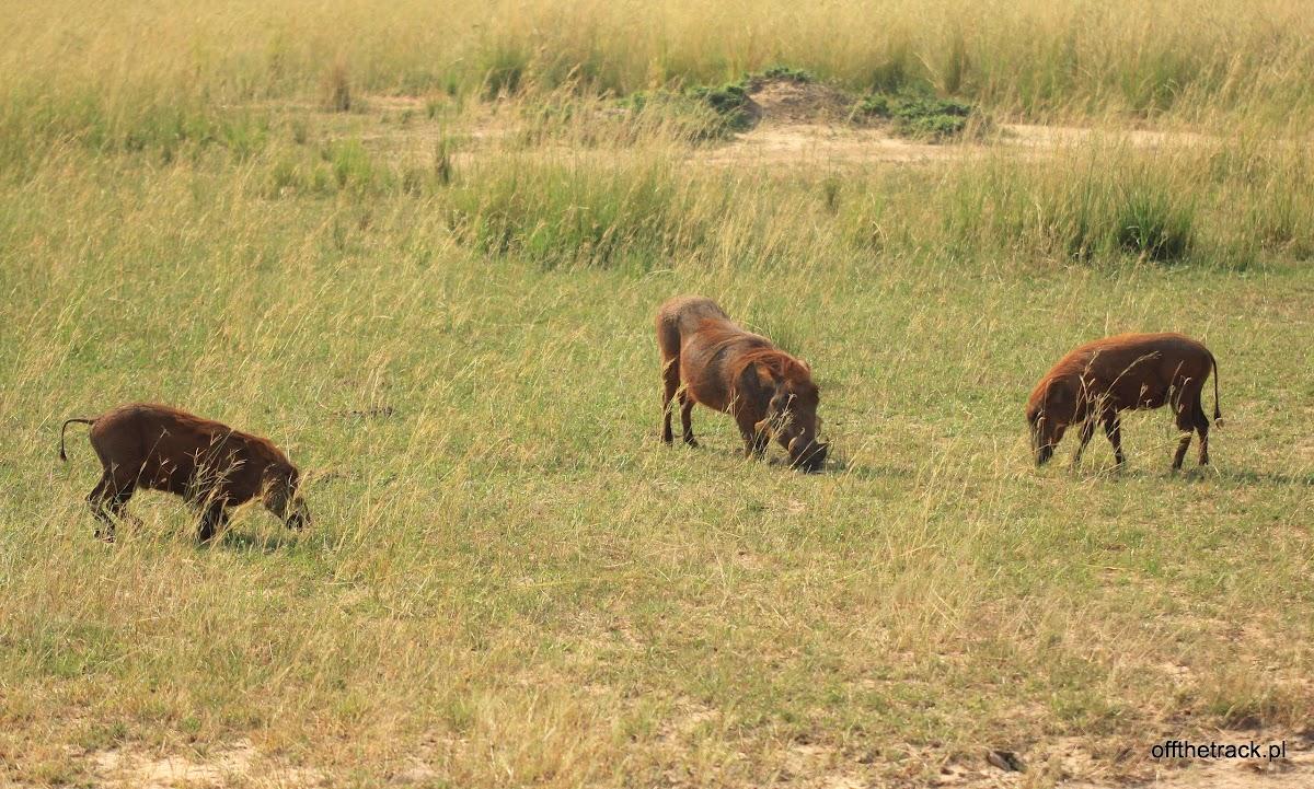 Pumba jedząca trawę, park narodowy Murchison Falls, Uganda