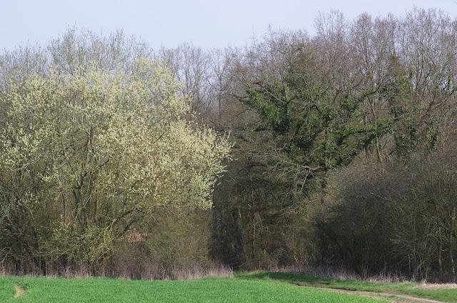 Floraison. Les Hautes-Lisières (Rouvres, 28), 22 mars 2012. Photo : J.-M. Gayman