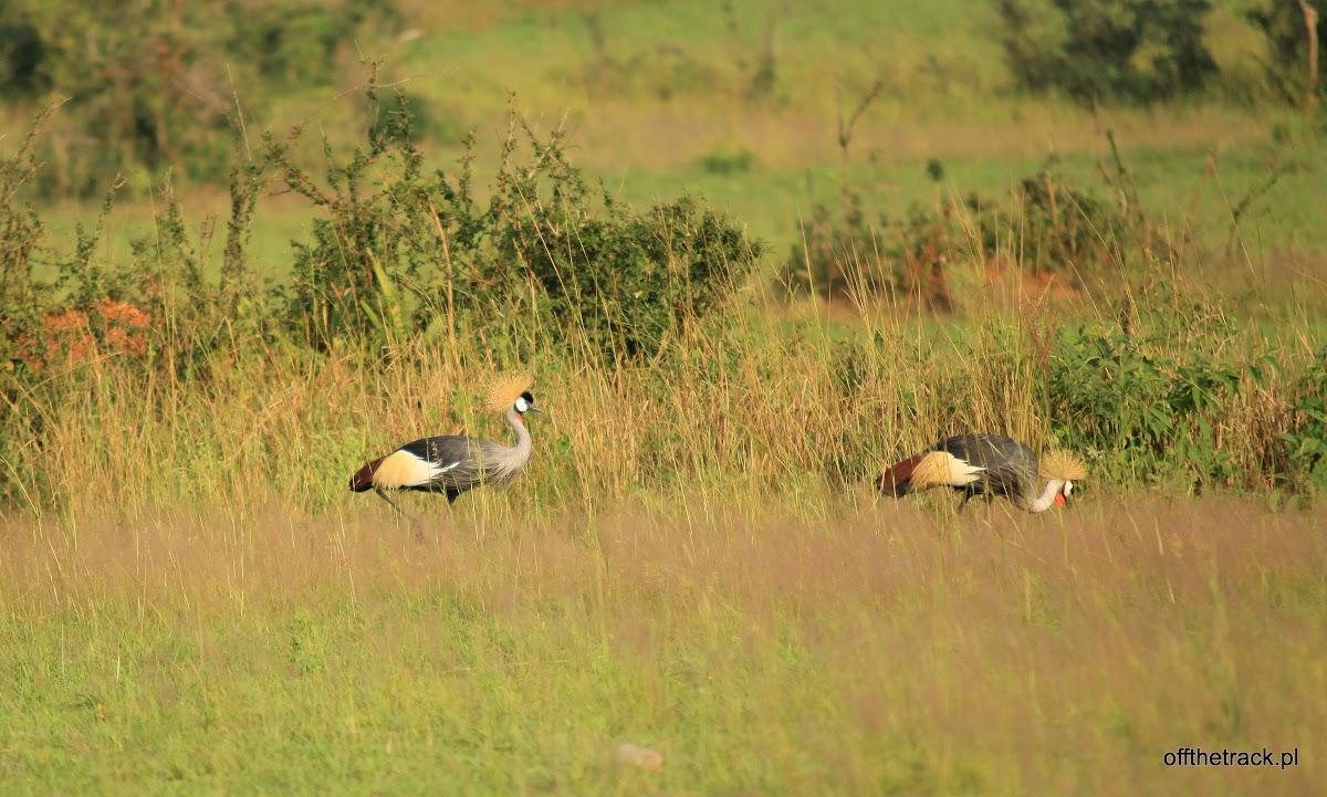 Koronnik szary - ptak z flagi ugandy, park narodowy Murchison Falls, Uganda