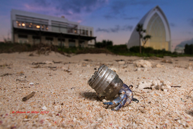 A blueberry hermit crab (coenobita purpureus) on Okinawa, using the top of a glass bottle as its shell. Photo: Shawn Miller