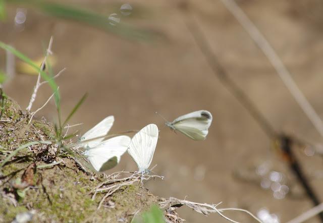 Leptidea duponcheli (Staudinger, 1871). Les Hautes-Courennes (430 m), Saint-Martin-de-Castillon (Vaucluse), 19 juin 2015. Photo : J.-M. Gayman