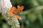 Det hvide C på hvid sommerfuglebusk2.jpg